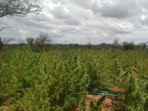 Área com plantação de maconha em Campo Formoso (Foto: Divulgação/Polícia Militar de Campo Formoso)